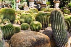 Groene Cactus Royalty-vrije Stock Afbeeldingen