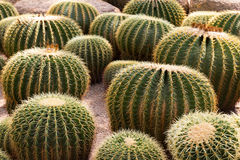 Groene Cactus Stock Afbeelding