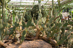 Groene Cactus Royalty-vrije Stock Foto's