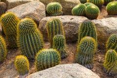 Groene Cactus Stock Foto's