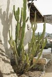 Groene Cactus bij de adobebouw royalty-vrije stock afbeeldingen