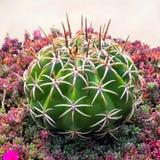 Groene cactus met lange stekels royalty-vrije stock afbeeldingen
