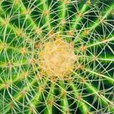 Groene cactus met lange stekels stock foto
