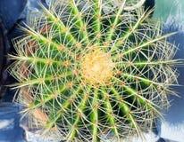 Groene cactus met lange stekels stock afbeeldingen