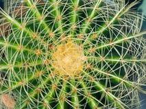 Groene cactus met lange stekels royalty-vrije stock fotografie