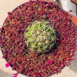 Groene cactus met lange stekels stock foto's