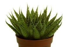 Groene cactus op geïsoleerde achtergrond Royalty-vrije Stock Afbeeldingen