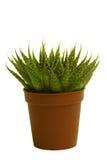 Groene cactus op geïsoleerded achtergrond Royalty-vrije Stock Afbeelding