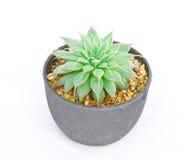 Groene cactus op wit royalty-vrije stock afbeeldingen