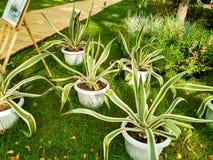 Groene cactus in pot Royalty-vrije Stock Afbeelding