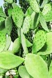 Groene cactusachtergrond De Vijgencactuslaevis van de cactusinstallatie stock foto
