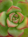 Groene cactusbloem stock afbeelding