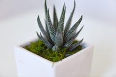Groene cactusinstallatie met gekweekte leerriem Royalty-vrije Stock Foto's