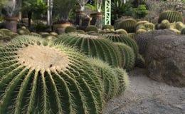 Groene cactussen Stock Afbeelding