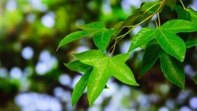 Groene calcaratum Gagnep van esdoornblad geïsoleerde Acer Stock Foto's