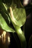 Groene Calla op groene blad dichte omhooggaand als achtergrond Stock Afbeelding