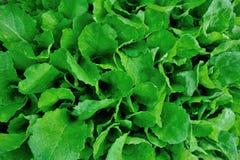 Groene choy som in de groei Stock Foto