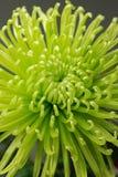 Groene chrysant Royalty-vrije Stock Foto's