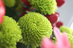 Groene chrysant Stock Afbeelding