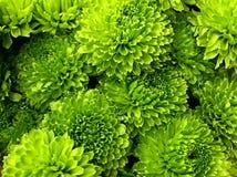 Groene Chrysanten Royalty-vrije Stock Foto's