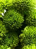 Groene Chrysanten royalty-vrije stock afbeeldingen