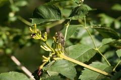Groene cicade Royalty-vrije Stock Afbeeldingen