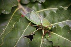 Groene Cicade op blad Stock Afbeeldingen