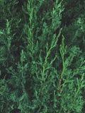 Groene cipresboom royalty-vrije stock foto