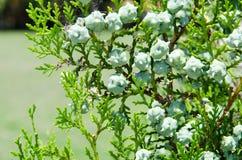 Groene cipresboom Stock Fotografie