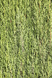 Groene ciprestakken Stock Foto's