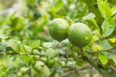 Groene citroen op boom Stock Afbeelding