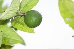 Groene citroen op de boom in de tuin stock foto