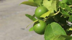 Groene citroenen in de wind stock video