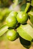 Groene citroenen op boom Stock Foto