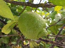 Groene citroenen op een boom Royalty-vrije Stock Foto's