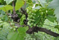 Groene cluster van druiven in juli Royalty-vrije Stock Foto's