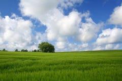 Groene cornfield Royalty-vrije Stock Foto's