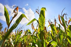 Groene cornfield Royalty-vrije Stock Fotografie