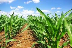 Groene cornfield in Portugal. Royalty-vrije Stock Afbeeldingen