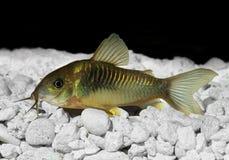 Groene Cory Corydora-katvis stock afbeelding