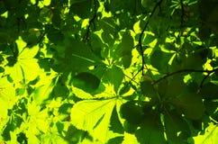 Groene de bladerenachtergrond van de kastanjeboom Stock Foto's