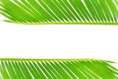 Groene de bladerentextuur van de palmkokospalm op witte achtergrond met de ruimte van het tekstexemplaar stock fotografie