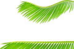 Groene de bladerentextuur van de palmkokospalm op witte achtergrond met de ruimte van het tekstexemplaar royalty-vrije stock fotografie