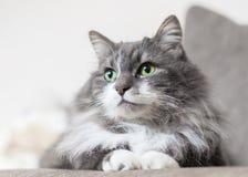 Groene de kattenogen van de huisdierenkat stock foto
