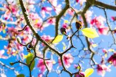 Groene de lentebladeren op vergankelijke magnoliaboom met roze bloemen Royalty-vrije Stock Fotografie