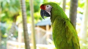 Groene Groene de papegaai groot-Groene Ara van papegaai//, Aronskelkenambigua Wilde zeldzame vogel in de aardhabitat, die op de t royalty-vrije stock fotografie
