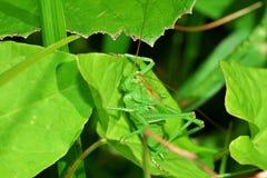 Groene de vultrechter zit in gras stock afbeeldingen