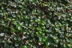Groene dichte omhooggaand van de struikomheining in rij voor achtergrond Stock Afbeeldingen