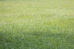 Groene dichte omhooggaand van het Grasperspectief stock foto's
