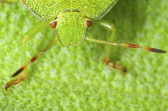 Groene dichte omhooggaand van het schildinsect Stock Foto's
